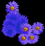 Marguerites et pissenlits