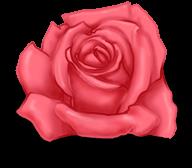 grosse Rose St Valentin