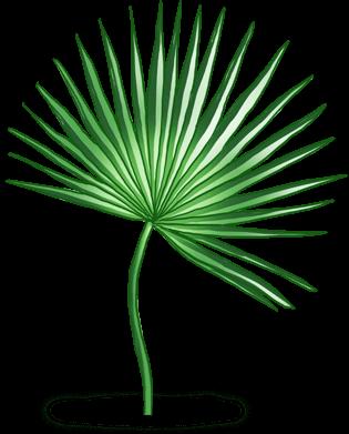Palmier Tahiti